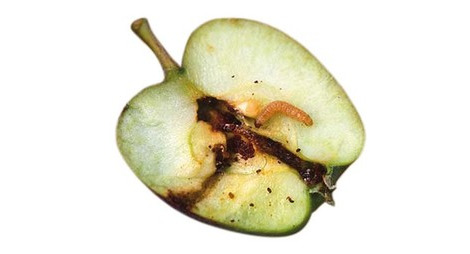Carpocapse de la pomme poire et noix traitement contre le - Maison de la pomme et de la poire ...