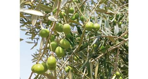 Olivier traitement contre le ver de l 39 olive produit bio - Maladie de l olivier mousse blanche ...