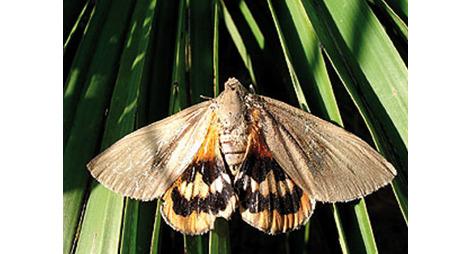 papillon du palmier papillon palmivore traitement contre le papillon du palmier produit bio. Black Bedroom Furniture Sets. Home Design Ideas