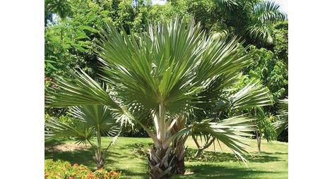 palmier traitement contre le charan on rouge du palmier produit bio contre le charan on rouge. Black Bedroom Furniture Sets. Home Design Ideas